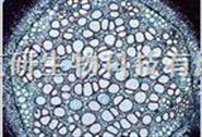 人肝星状细胞HSC