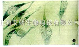 小鼠神经细胞瘤与大鼠神经胶质瘤之融合细胞NG108-15