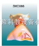 女性内外生殖器解剖模型