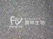 人肺成纤维细胞