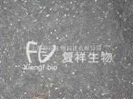 HFL1人肺成纖維細胞