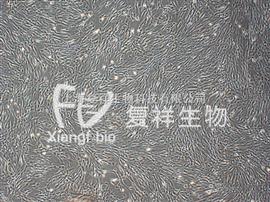 HFL1人肺成纤维细胞