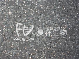 HK-2 人肾近曲小管上皮细胞