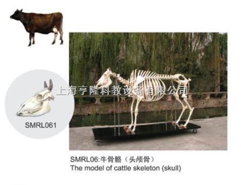 动物解剖模型|牛头颅骨模型|牛头颅骨|牛头颅骨标本