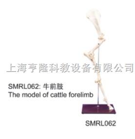 动物解剖模型|牛前肢模型|牛前肢|牛前肢标本