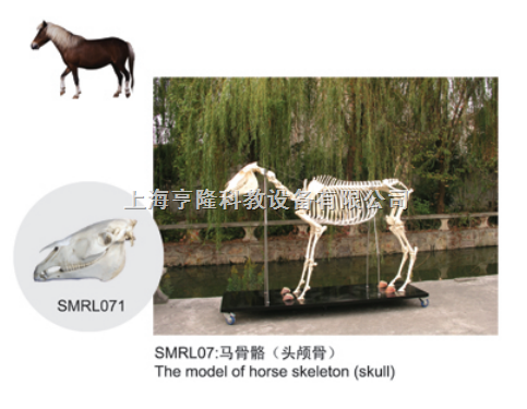 动物解剖模型|马头颅骨模型|马头颅骨|马头颅骨标本