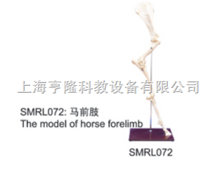 动物解剖模型|马前肢|马前肢模型|马前肢标本
