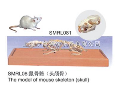 动物解剖模型|老鼠头颅骨模型|老鼠头颅骨|老鼠头颅骨标本