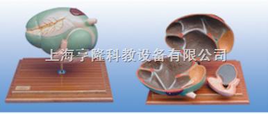 动物解剖模型|牛胃解剖模型|牛胃解剖