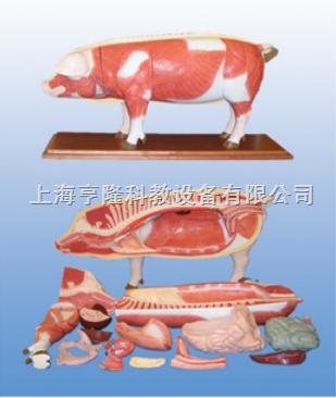 动物解剖模型|猪解剖模型|猪解剖