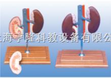 动物解剖模型|猪肾解剖模型|猪肾解剖
