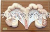 动物解剖模型|猪子宫解剖模型|猪子宫解剖
