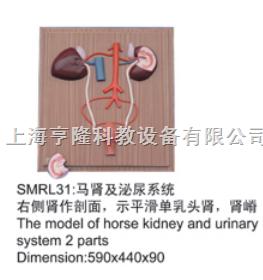 动物解剖模型|马肾及泌尿系统模型|马肾及泌尿系统