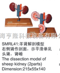 动物解剖模型|羊肾解剖模型|羊肾解剖