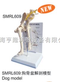 动物解剖模型|狗骨盆解剖模型|狗骨盆解剖