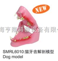 动物解剖模型猫牙齿解剖模型|猫牙齿解剖