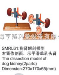 动物解剖模型|狗肾解剖模型|狗肾解剖