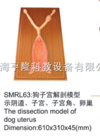 动物解剖模型|狗子宫解剖模型|狗子宫解剖