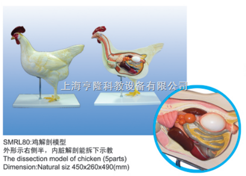 动物解剖模型|鸡解剖模型|鸡解剖