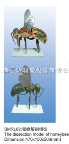 动物解剖模型|蜜蜂解剖模型|蜜蜂解剖