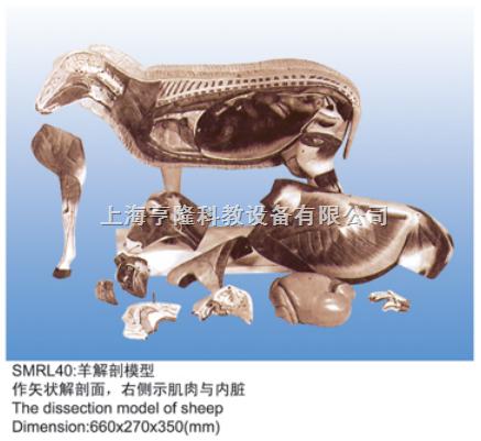 动物解剖模型|羊解剖模型|羊解剖