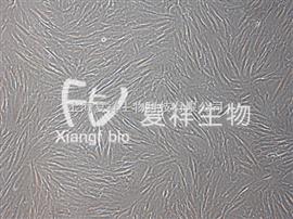 HSF人皮肤成纤维样细胞