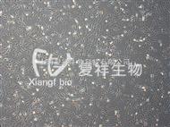 LX-2人肝星形細胞
