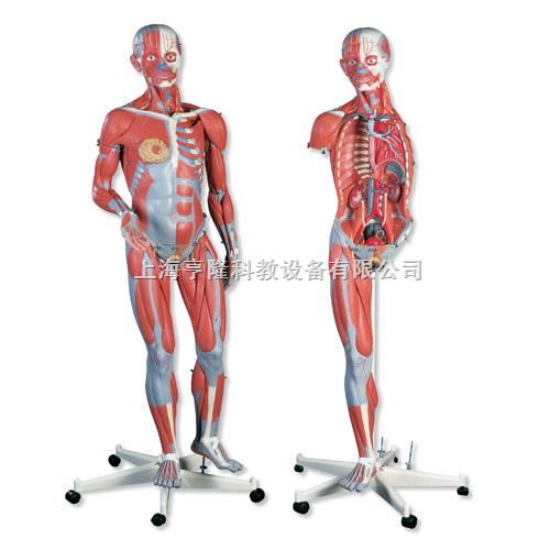 两性人体肌肉臂模型,45部分