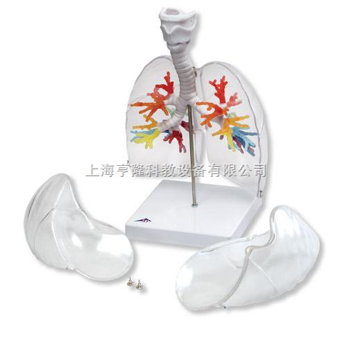CT支气管带咽喉和透明肺叶