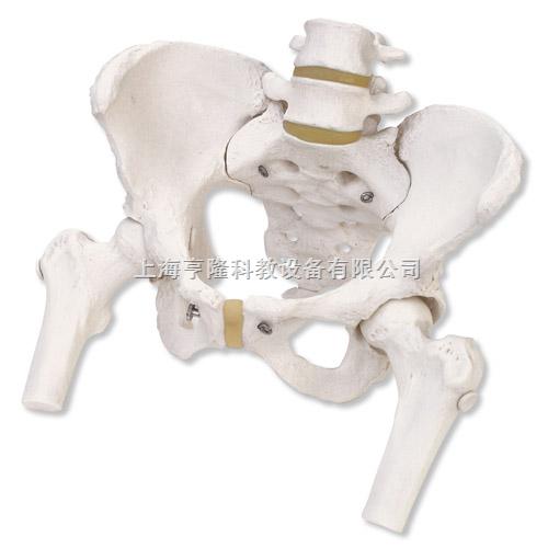 女性骨盆骨骼模型,带可拆卸股骨头