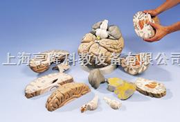 巨型脑模型,实物的2.5倍,14部分