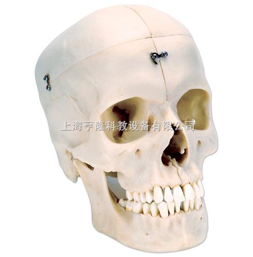 颅模型- 骨半颅,4部分
