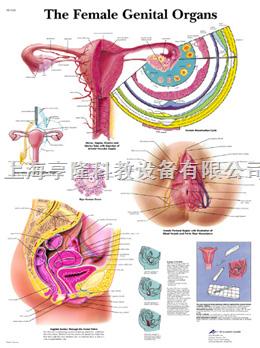 The Female Genital Organs