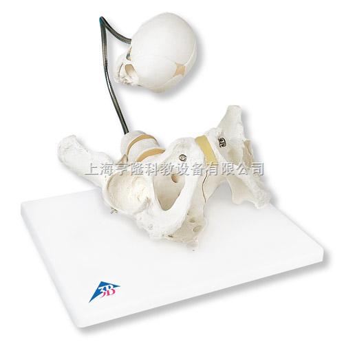 婴儿出生演示骨盆模型