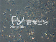 CCL-33 PK-15 豬腎細胞系