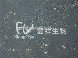 CCL-33 PK-15 猪肾细胞系