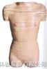 女性躯干横断断层解剖模型