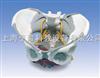 带韧带、神经和底肌的女性骨盆模型