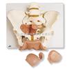 女性骨盆带生殖器官模型